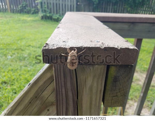 cicada shell or skin on wood deck railing and green grass