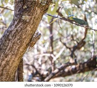 Cicada sitting on olive tree trunk