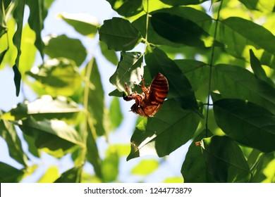 Cicada Slough, Japan