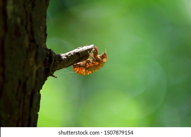 cicada slough on the tree