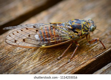 cicada in south of France