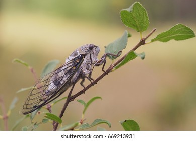 Cicada standing on a branch