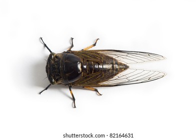cicada with white background