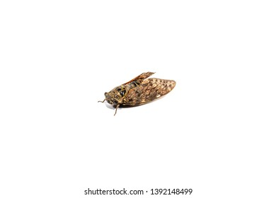 Cicadas isolated on white background. Orange wings butterfly cicada.