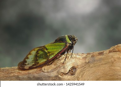Cicadas : Odd green glasswing Alien head cicada (Salvazana mirabilis). One of world most famous and beautiful cicadas from Thailand. Butterfly wings cicada in nature. Selective focus wit copy space