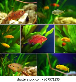 Ð¡ollage: cichlid aquarium fish in the aquarium