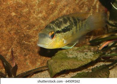 Cichlid (Bujurquina spec.) - Female at the clutch