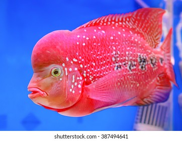 Similar Images, Stock Photos & Vectors of Flowerhorn Cichlid fish