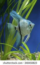 Cichlid fish from genus Pterophyllum in the aquarium