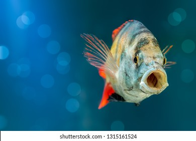 CICHLID FISH SWIMMING AND OPENING MOUTH IN BLUE WATER LAKE WITH BOKEH LIGHTS