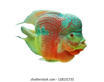 Cichlid of on white background.(Cichlidae)