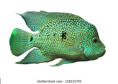Cichlid of on white background.(Cichlidae)