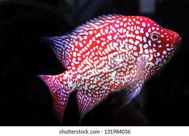 cichlidae in aquarium
