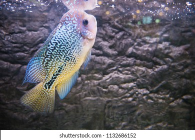 Cichlidae in the aquarium. Flowerhorn Crossbreed Fish.