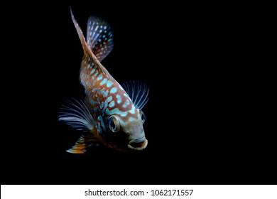 Cichlids in the aquarium beautiful