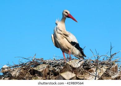 Ciconia or Stork in nest feeding cub