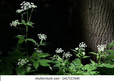 Cicuta maculata wild flowers with green leaves, white uncultivated flower blossoms in the dark