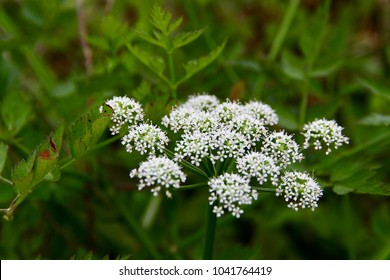Cicuta virosa, the cowbane or northern water hemlock (Cicuta virosa) is a poisonous plant which contains cicutoxin  that disrupts the workings of the central nervous system