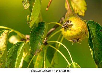 cider pear on a tree with fly