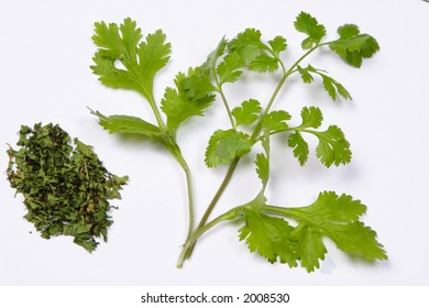 Cilantro (Coriander), Coriandrum sativum, fresh and dried
