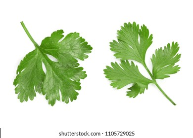 cilantro or coriander leaves isolated on white background. Top view. Flat lay pattern