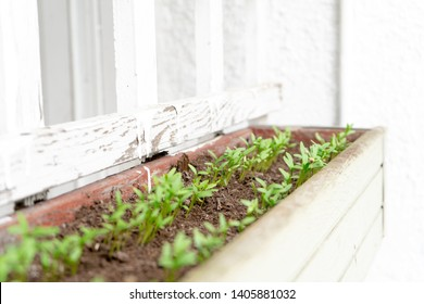 Cilantro (Coriander seed) growing sprouts (young seedlings) in a hanging planter, on a patio. Hanging on a white lattice, with bright light feeding the plants.