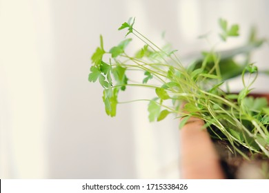 Cilantro growing sprouts or young seedlings in a home planter, ina kitchen garden. bright light feeding the plants. home hardening concept. fresh greens growing near the window