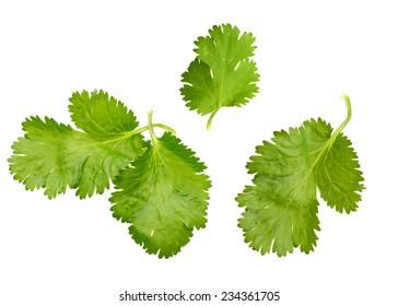 A cilantro leaf isolated white