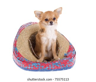"""""""Cinco de Mayo"""" celebration. Brown longhair chihuahua puppy sitting inside of a red, blue, natural woven Mexican sombrero hat, isolated on white."""