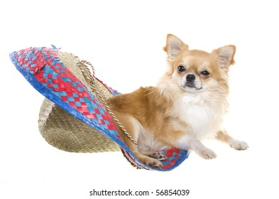 """""""Cinco de Mayo"""" celebration. Tan longhair chihuahua puppy lying inside of a red, blue, natural woven Mexican sombrero hat, isolated on white."""