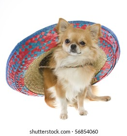 """""""Cinco de Mayo"""" celebration. Tan longhair chihuahua puppy wearing a red, blue, natural woven Mexican sombrero hat, isolated on white."""
