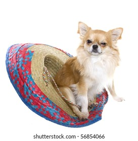 """""""Cinco de Mayo"""" celebration. Tan longhair chihuahua puppy sitting inside of a red, blue, natural woven Mexican sombrero hat, isolated on white."""