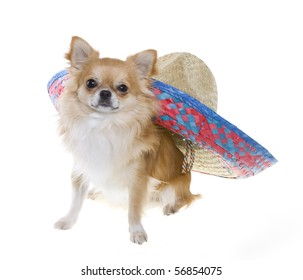 """""""Cinco de Mayo"""" celebration. Tan longhair chihuahua puppy with a red, blue, natural woven Mexican sombrero hat on its back, isolated on white."""