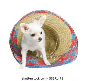 """""""Cinco de Mayo"""" celebration. White chihuahua puppy with a red, blue, natural woven Mexican sombrero hat, isolated on white."""