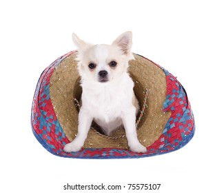 """""""Cinco de Mayo"""" celebration. White longhair chihuahua puppy sitting inside of a red, blue, natural woven Mexican sombrero hat, isolated on white."""