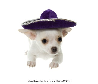 """""""Cinco de Mayo"""" celebration. white chihuahua puppy with a purple velvet   sombrero hat, isolated on white."""