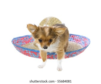 Cinco De Mayo chihuahua puppy standing in front of a red, blue, natural woven sombrero hat, isolated on white.