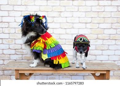 Cindo de Mayo Dogs - Australian Shepherd and Chihuahua