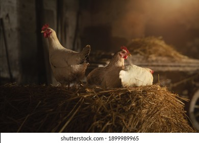 Cinematic shot of ecologically grown white hen used for biological genuine food products industry in hay barn of countryside agricultural farm. Concept of love for animals and nature,vegetarian, vegan