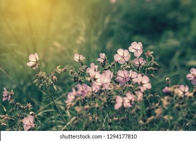 Cinematic view of little purple flowers of wild geranium hidden in green grass