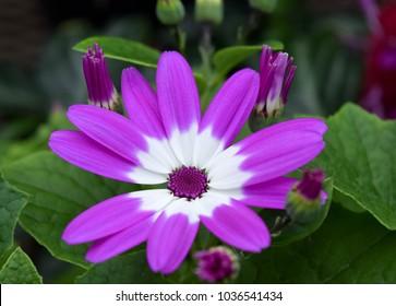 Cineraria purple and white flower