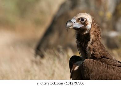 Cinereous (Eurasian Black) Vulture (Aegypius monachus), Head Portrait of Vulture