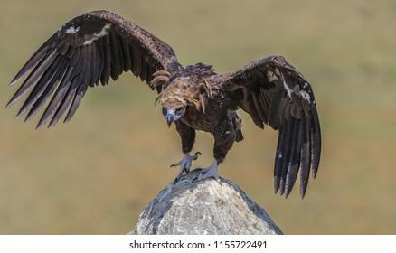 Cinereous Vulture  Aegypius monachus Eurasian Black Vulture