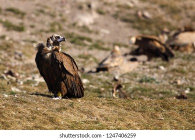 The cinereous vulture (Aegypius monachus) also known as the black vulture, monk  or Eurasian black vulture sitting on the feeding place. Big black vulture.