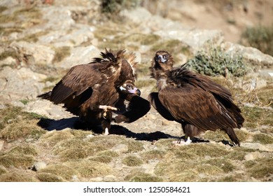 The cinereous vulture (Aegypius monachus) also known as the black vulture, monk or Eurasian black vulture sitting on the feeding place. Pair of the vultures on the edge of the rock.