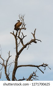 The cinereous vulture (Aegypius monachus) also known as the black vulture is sitting in a tree in South Africa