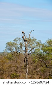 The cinereous vulture (Aegypius monachus) also known as the black vulture are sitting in a tree in South Africa
