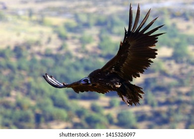 The cinereous vulture (Aegypius monachus) also known as the black vulture, monk  or Eurasian black vulture flying in the mountain.Big black vulture.