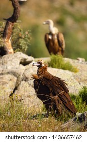 The cinereous vulture (Aegypius monachus) also known as the black, monk  or Eurasian black vulture sitting on the feeding place. Big black vulture with griffon vulture in background.