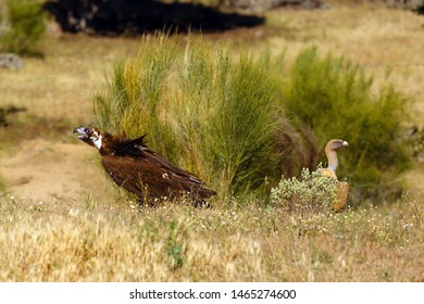 The cinereous vulture (Aegypius monachus) also known as the black vulture, monk  or Eurasian black vulture and griffon vulture (Gyps fulvus) sitting on the feeding place. Big vultures in zhe grass.